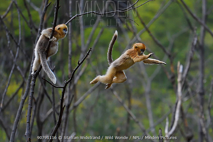 Golden snub-nosed monkey (Rhinopithecus roxellana) watching another leaping from branch to branch, Foping Nature Reserve, Shaanxi, China. Endangered species