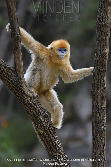 Golden snub-nosed monkey (Rhinopithecus roxellana) climbing a tree, Foping Nature Reserve, Shaanxi, China. Endangered species