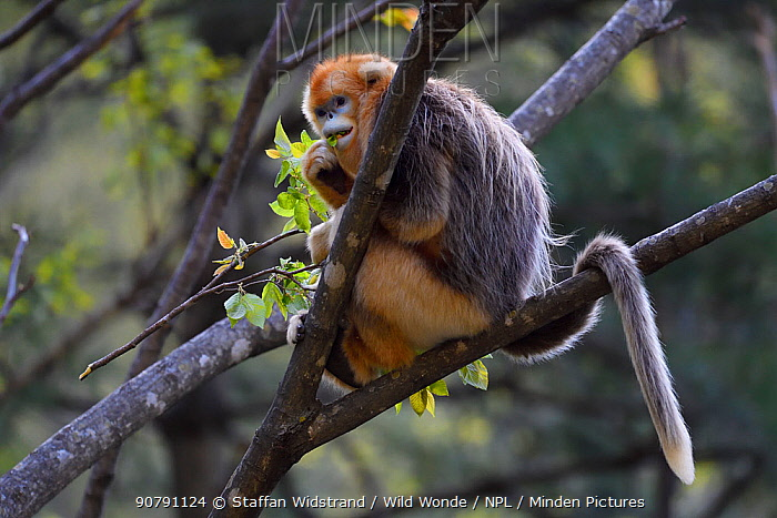 Golden snub-nosed monkey (Rhinopithecus roxellana) sitting in tree, Foping Nature Reserve, Shaanxi, China. Endangered species