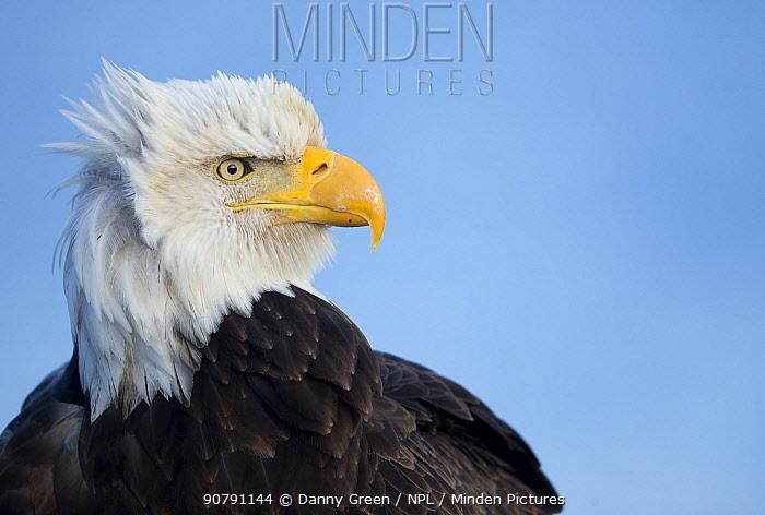 Bald eagle (Haliaeetus leucocephalus) portrait, Alaska, USA, February