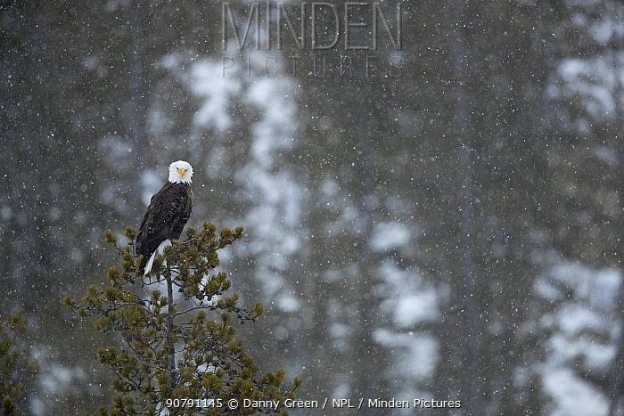 Bald eagle (Haliaeetus leucocephalus) in snow perched in a tree, Alaska, USA, February