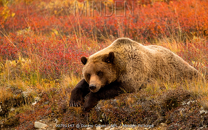Grizzly bear (Ursus arctos horribilis) resting, Denali National Park, Alaska, USA, September