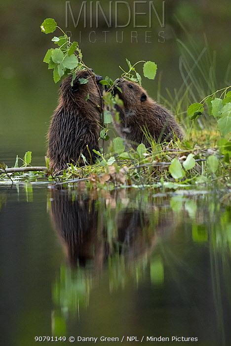 Beaver (Castor fiber) kits eating aspen, Finland, July.
