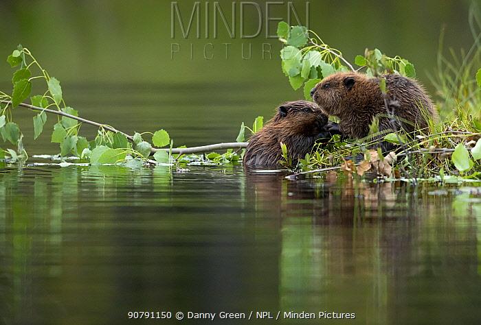 Beaver kits (Castor fiber) eating aspen, Finland, July