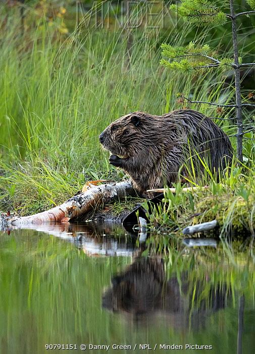 Beaver (Castor fiber) on river bank, Finland, July.