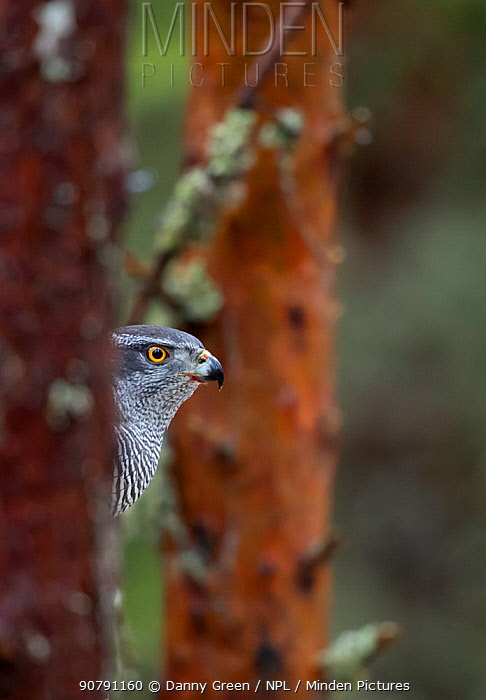 Goshawk (Accipiter gentilis) perched in a tree, Norway, January