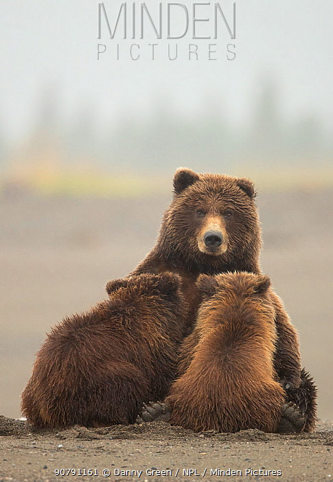 Grizzly bear (Ursus arctos) nursing her cubs, Lake Clarke National Park, Alaska, September