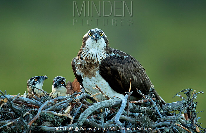 Osprey (Pandion haliaetus) at nest with chicks, Finland, July