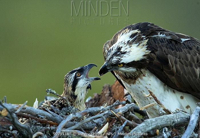 Osprey (Pandion haliaetus) feeding its chick, Finland, July