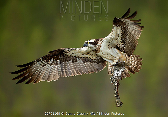 Osprey (Pandion haliaetus) in flight with nest building material, Finland, July