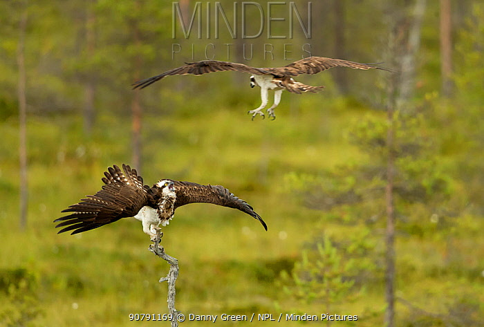 Osprey (Pandion haliaetus) in threat display, Finland, July