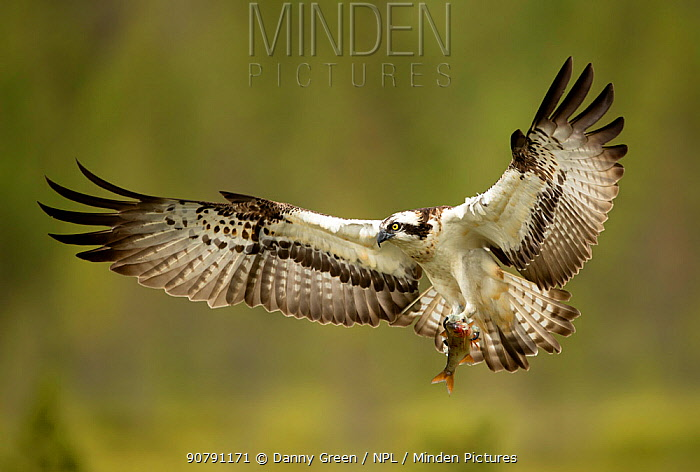 Osprey (Pandion haliaetus) in flight with a fish, Finland, July