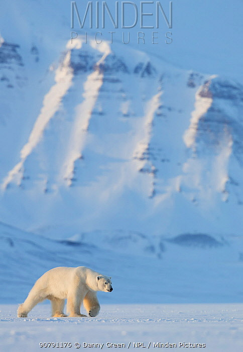 Polar bear (Ursus maritimus) walking in snow, Svalbard, Norway, April