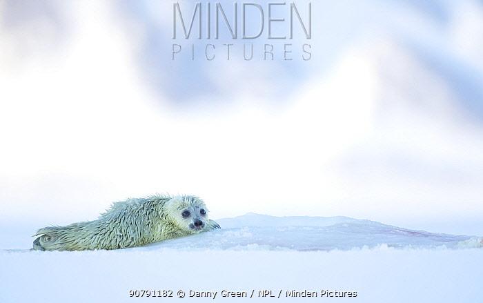 Ringed seal pup resting (Phoca hispida) Svalbard, Norway, April