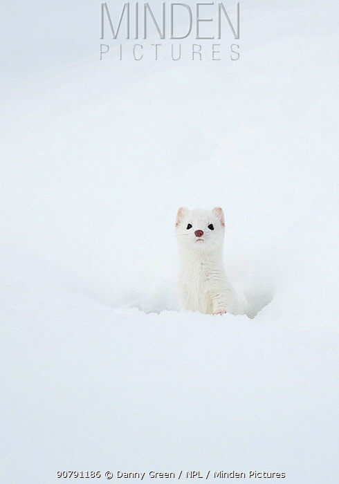 Stoat (Mustela erminea) in snow, Yellowstone National Park, Wyoming, USA, February