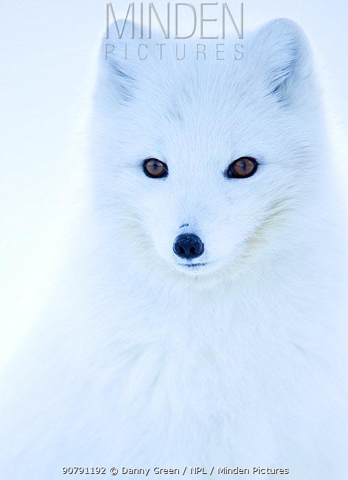 Arctic fox (Alopex lagopus), in winter coat portrait, Svalbard, Norway, April.