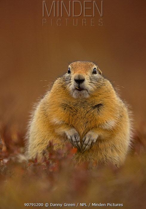 Arctic ground squirrel (Spermophilus parryii) portrait, Denali National Park, Alaska, USA, September.