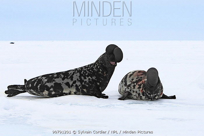 Hooded seals (Cystophora cristata), males with inflated nasal sac during courtship display, Magdalen Islands, Canada