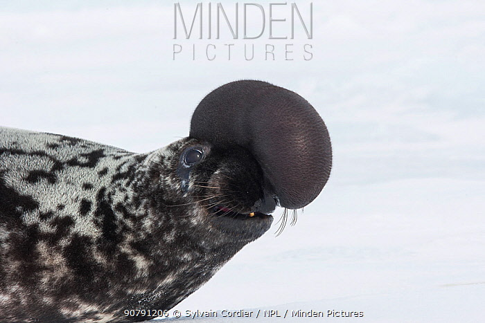 Hooded seal (Cystophora cristata), with inflated nasal sac during courtship display, Magdalen Islands, Canada