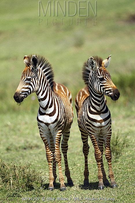 Two juvenile Burchell's zebra (Equus quagga burchellii) Ngorongoro Crater,Tanzania