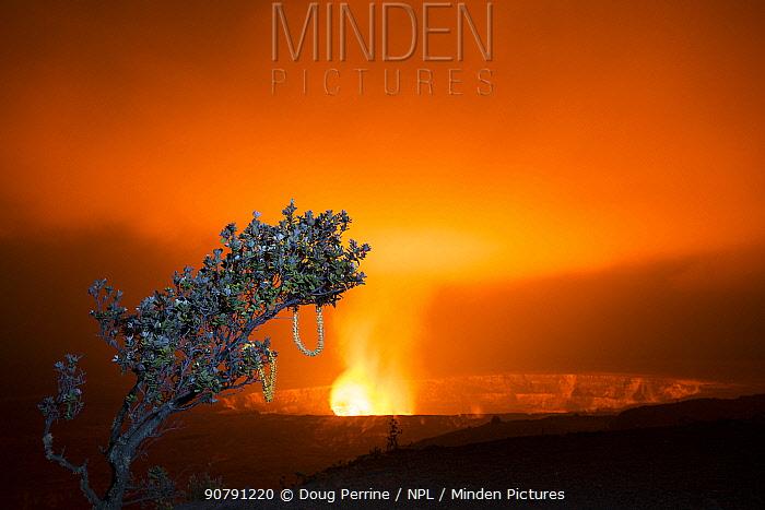 Ohia lehua tree (Metrosideros polymorpha) with garlands hung in it. At edge of caldera with lava lake, Halemaumau Crater,  Kilauea Volcano, Hawaii Volcanoes National Park, Hawaii, March 2017.
