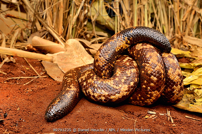 Calabar burrowing boa snake (Calabaria reinhardtii) in defensive ball,  captive, occurs equatorial rain forest of West and central Africa. Head and tail are very similar
