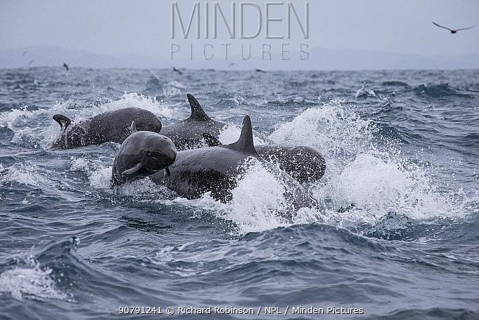False killer whales (Pseudorca crassidens) surfacing  Northern New Zealand