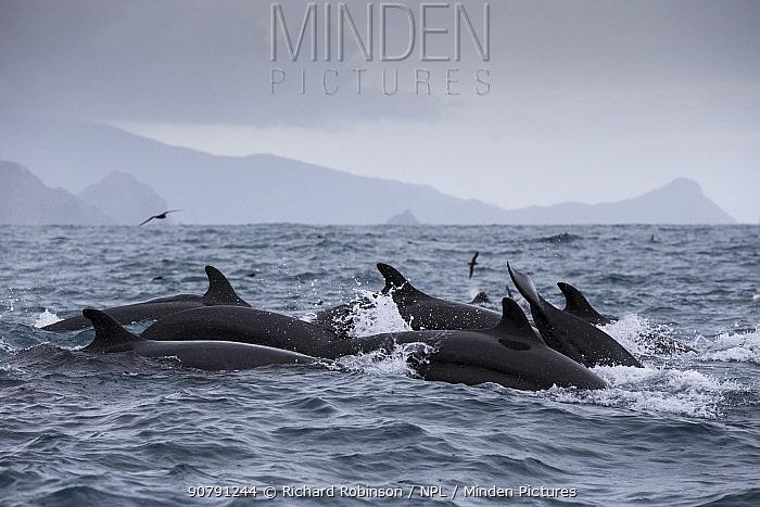 False killer whales (Pseudorca crassidens)  Northern New Zealand