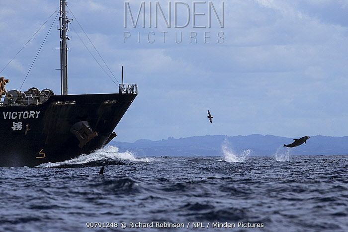 Bottlenose dolphins (Tursiops truncatus) ride the bow of a logging ship,  Northern New Zealand
