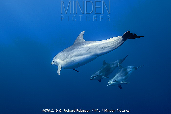 Pelagic Bottlenose dolphins (Tursiops truncatus)  Northern New Zealand   April 2015