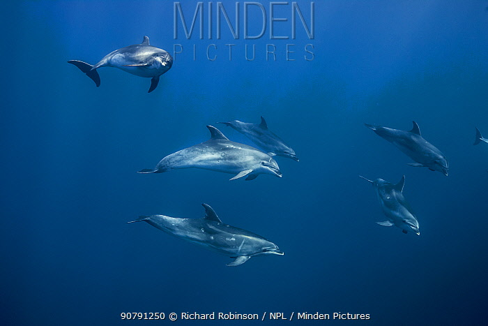 Pelagic Bottlenose dolphins (Tursiops truncatus)  Northern New Zealand  