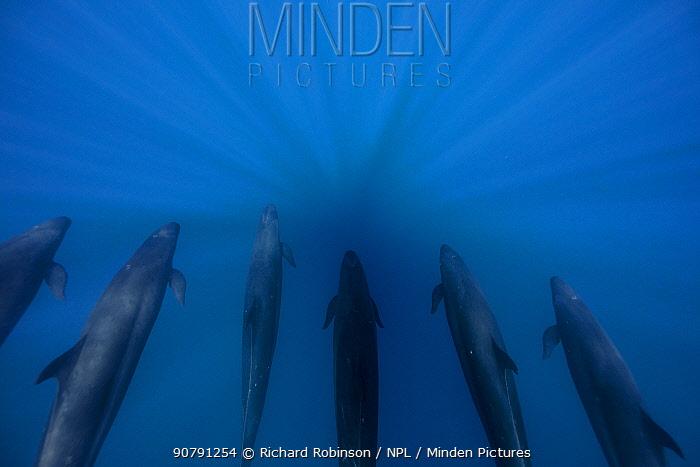 False killer whales (Pseudorca crassidens), Northern New Zealand