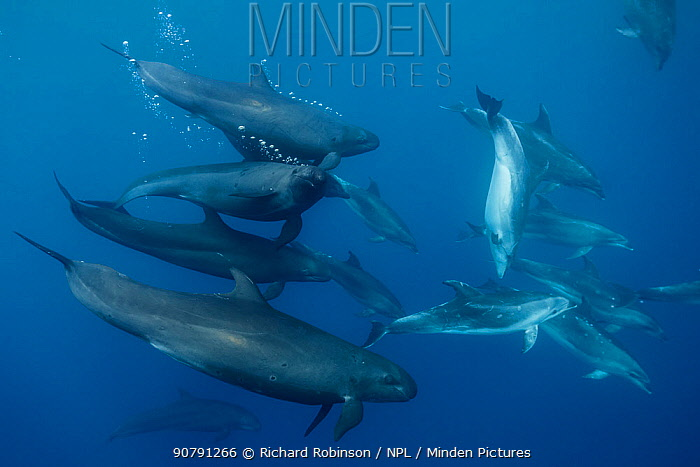 False killer whales (Pseudorca crassidens) traveling with a pod of pelagic Bottlenose dolphins (Tursiops truncatus)  Northern New Zealand