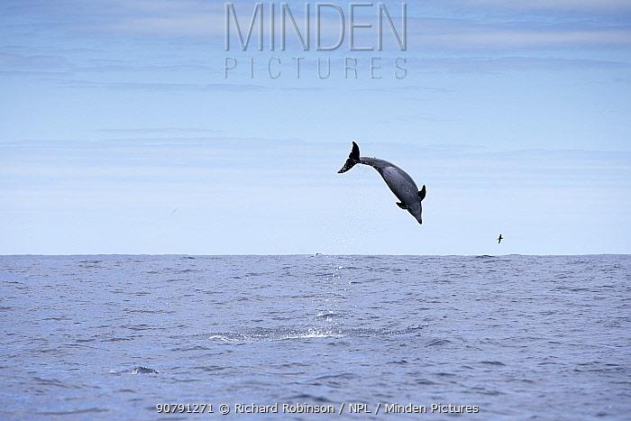 Pelagic Bottlenose dolphin (Tursiops truncatus)  leaping off Northern New Zealand