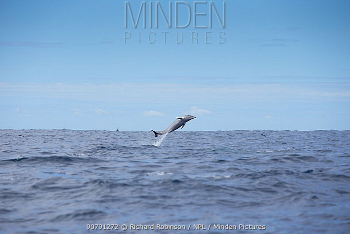 Pelagic Bottlenose dolphin (Tursiops truncatus)  leaping, off Northern New Zealand