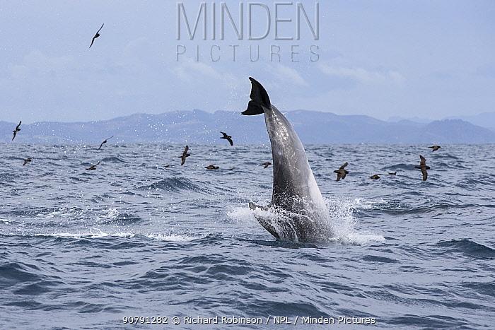 Pelagic Bottlenose dolphins (Tursiops truncatus) followed by Black petrels (Procellaria parkinson), Northern New Zealand