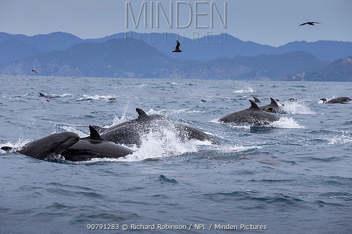 False killer whales (Pseudorca crassidens) traveling with a pod of pelagic Bottlenose dolphins (Tursiops truncatus), Northern New Zealand