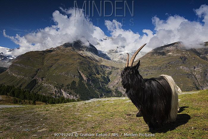 Valais Blackneck  domestic goat on mountains near Sunnegga, Zermatt, Switzerland