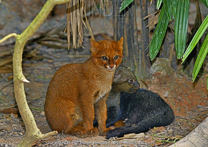 Jaguarundi (Puma yagouaroundi) two kittens, one  red colour morph, captive, occur in the Americas from Arizona to Argentina. Red individuals of this species were once thought to be a separate species called an Eyra.