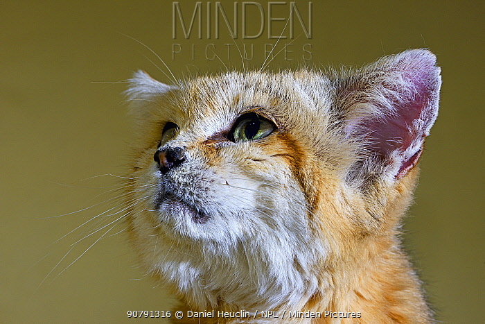 Sand cat (Felis margarita) portrait captive, occurs in Asia from Morocco to Uzbekistan, captive
