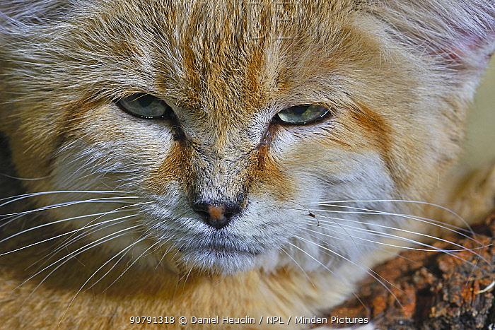 Sand cat (Felis margarita) portrait captive, occurs in Asia from Morocco to Uzbekistan, captive
