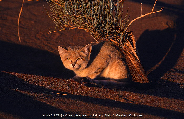 Sand cat (Felis margarita) adult at sunset, Tenere, Sahara, Niger