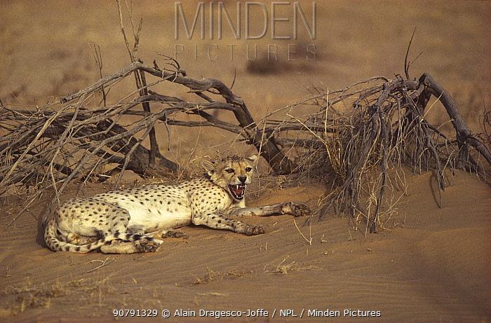 Cheetah (Acinonyx jubatus) resting at sunset, Tenere, Sahara, Niger,