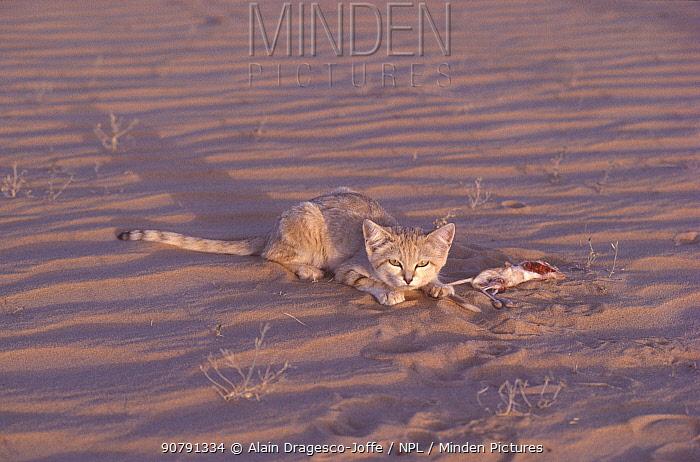 Sand cat (Felis margarita) female with Jerboa (Dipodidae) prey, Sahara, Niger.