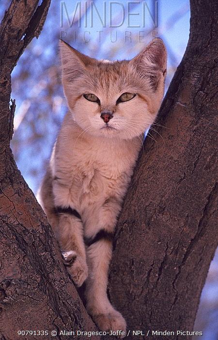 Sand cat (Felis margarita) in tree, Sahara, Niger.