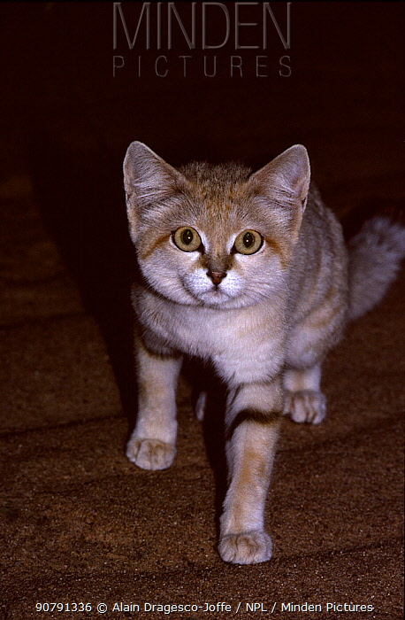Sand cat (Felis margarita) female hunting at night, Sahara, Niger.