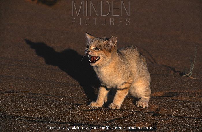Sand cat (Felis margarita) female hissing,  Sahara, Niger.