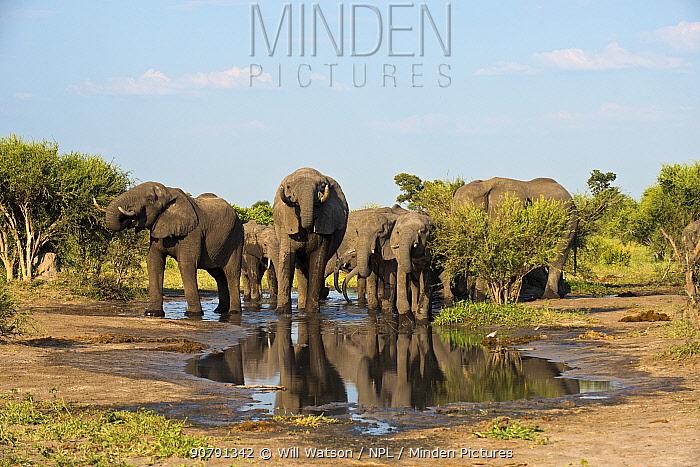 African elephants (Loxodonata africana) drinking from waterhole with reflections in water, Elephants Sands, Botswana.