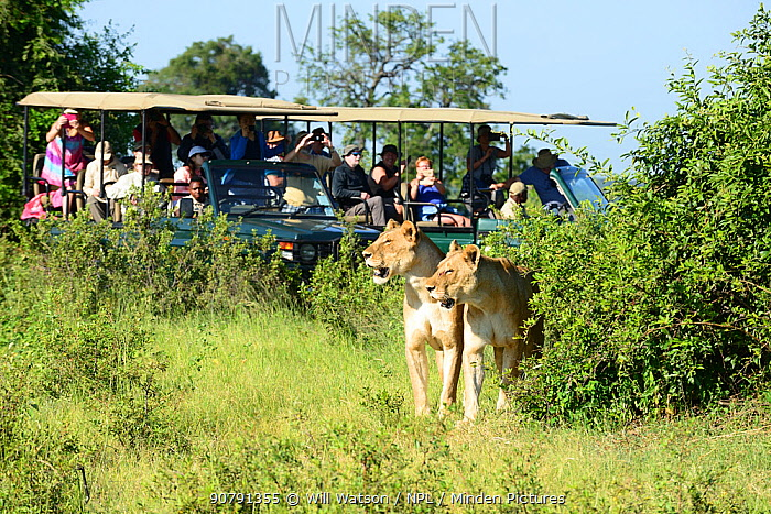 Tourists on Safari vehicles using mobile phones to photograph African lionesses (Panthera leo) one with wound on face, Chobe National Park, Botswana. January 2018.