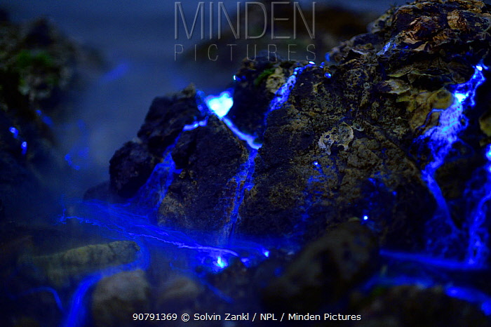 Bioluminescent Sea-fireflies (Vargula hilgendorfii)  washed up on shore, producing a bright blue light. The light is produced by mixing two chemicals together in the presence of oxygen and is for mating displays or defence. Tomonoura, Inland Sea, Japan